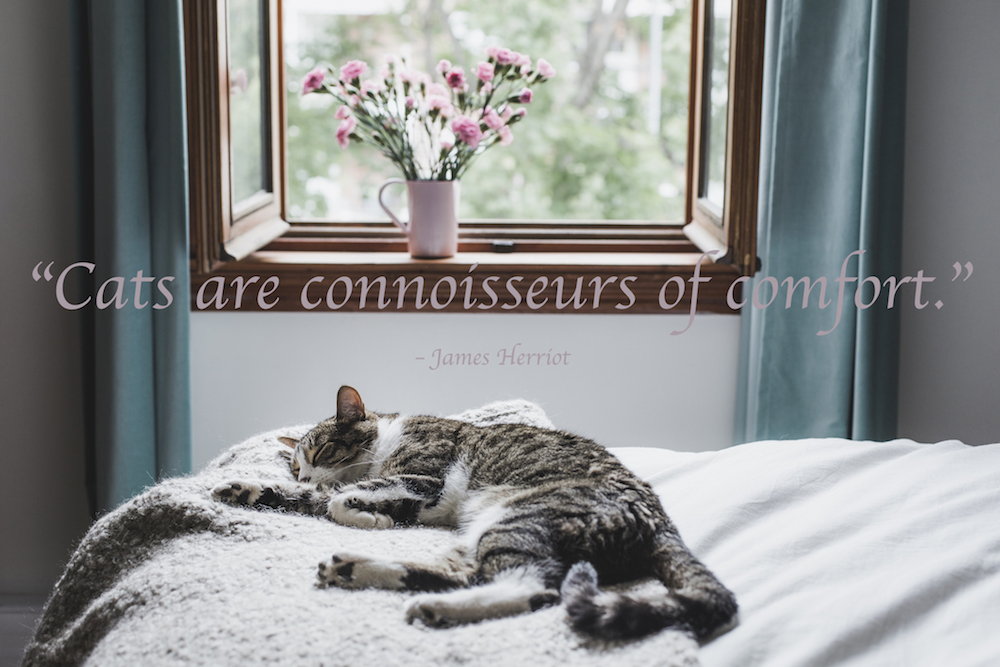 Napping, Resting, Sleeping, Canada, Domestic Cat. cat quote: Cats are connoisseurs of comfort.